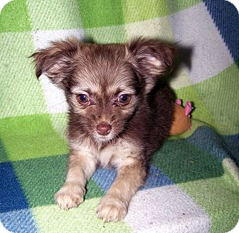 Pomeranian/Chihuahua Mix Puppy for Sale in Sherman, Connecticut - Prairie Betty's Dog