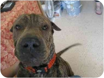 Adopt a Pet :: Cosby - Hobbs, NM - Shar Pei/American Pit