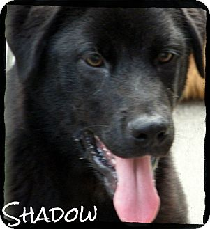 Labrador Retriever Mix Puppy for Sale in manasquam, New Jersey - Shadow *Reduced Adoption Fee*