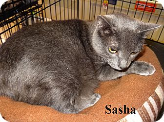 Russian Blue Cat for adoption in Bentonville, Arkansas - Sasha