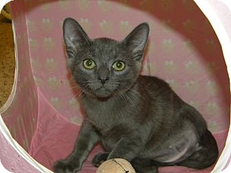 Russian Blue Cat for Sale in Stafford, Virginia - Pogo