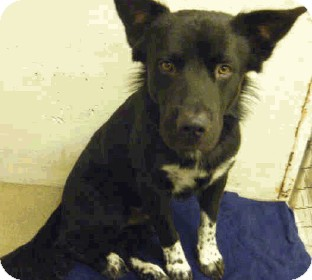 Border Collie Dog for Sale in Phoenix, Arizona - Duke - Only $65 adoption fee!