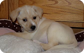 Labrador Retriever/Boxer Mix Puppy for Sale in Huntsville, Alabama - Zaria