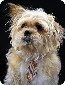 Lhasa Apso/Cairn Terrier Mix Dog for Sale in Bridgeton, Missouri - Buddy