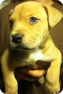 Shepherd (Unknown Type) Mix Puppy for Sale in Russellville, Kentucky - Teddy