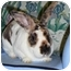 Photo 4 - Mini Rex Mix for adoption in Newport, Delaware - Briscoe