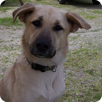Shepherd (Unknown Type) Mix Dog for adption in Grants Pass, Oregon - Lucy
