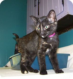 Domestic Shorthair Kitten for Sale in Dover, Ohio - Turvy
