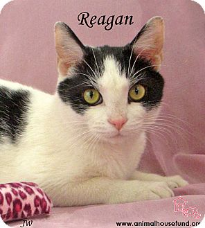 Domestic Shorthair Cat for adoption in St Louis, Missouri - Reagan