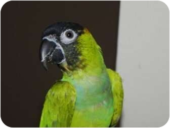 Conure for adoption in St. Louis, Missouri - Diego