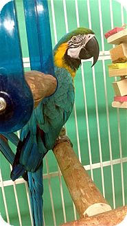 Macaw for Sale in Lexington, Georgia - Hadji
