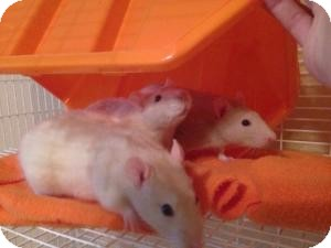 Rat for adoption in Scottsdale, Arizona - snap,crackle,pop