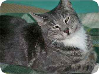 Domestic Shorthair Kitten for adoption in Secaucus, New Jersey - Sara Bella