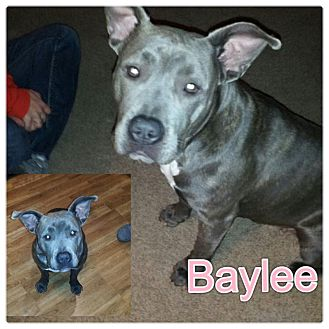 Pit Bull Terrier Mix Puppy for Sale in Westland, Michigan - Baylee