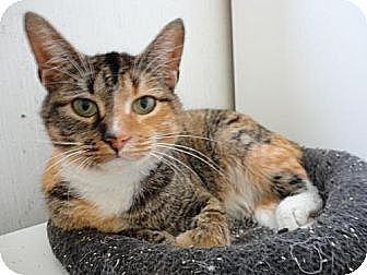 Domestic Shorthair Cat for adoption in Stuart, Virginia - Sheba