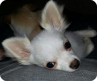 Chihuahua Mix Puppy for Sale in Clear Lake, Washington - WOW