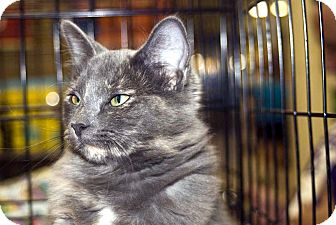 Domestic Longhair Cat for adoption in Elfers, Florida - Jennifer Juniper