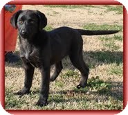 Labrador Retriever/Border Collie Mix Puppy for Sale in Washington, D.C. - Spice Girl
