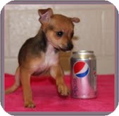 Chihuahua Mix Puppy for Sale in Hagerstown, Maryland - Diamond