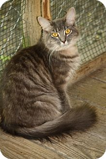 Domestic Mediumhair Cat for Sale in Dover, Ohio - Cara