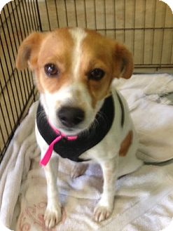 Jack Russell Terrier Mix Dog for adption in Columbia, Tennessee - Cluck-cluck