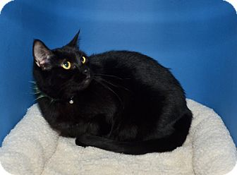 Domestic Shorthair Cat for adoption in Ranch Palos Verdes, California - Stona