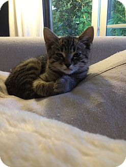 Polydactyl/Hemingway Kitten for Sale in Los Angeles, California - Ernest- baby Hemingway kitten