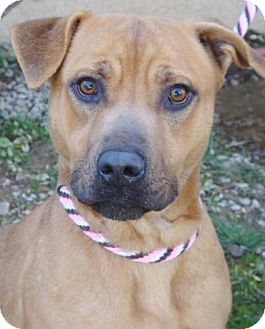 Boxer/American Pit Bull Terrier Mix Dog for adption in Red Bluff, California - Abby-$45 Adoption Fee