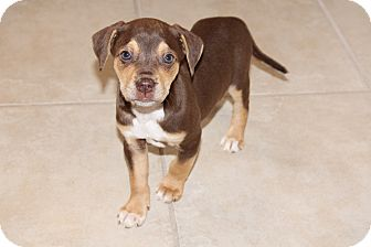 Labrador Retriever/Hound (Unknown Type) Mix Puppy for Sale in Marietta, Georgia - Cocoa