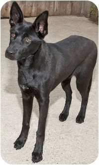 Labrador Retriever/Shepherd (Unknown Type) Mix Puppy for adption in Mt. Prospect, Illinois - Cupcake