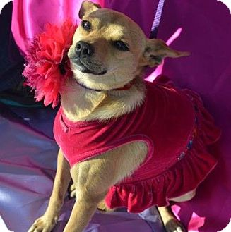 Terrier (Unknown Type, Medium)/Chihuahua Mix Dog for adption in San Diego, California - Trixie