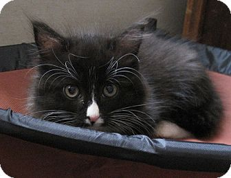 Domestic Longhair Kitten for Sale in N. Billerica, Massachusetts - Thumbelina
