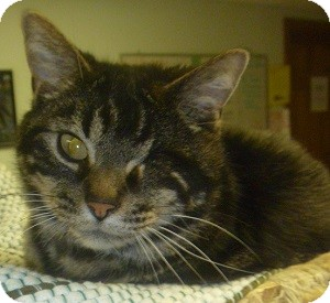Domestic Shorthair Cat for adoption in Hamburg, New York - Travis