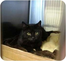 Domestic Shorthair Cat for adoption in Raritan, New Jersey - Shadow
