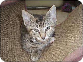 Domestic Shorthair Kitten for adoption in Netcong, New Jersey - Zena