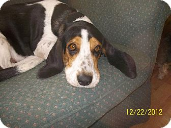 Basset Hound/Beagle Mix Dog for Sale in Stephens City, Virginia - Holly