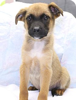 Labrador Retriever/Belgian Malinois Mix Puppy for Sale in Glastonbury, Connecticut - File~meet me!~