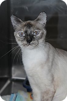 Siamese Cat for Sale in North Branford, Connecticut - J. J.