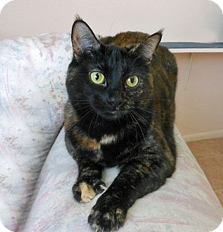 Domestic Shorthair Cat for adoption in Youngtown, Arizona - Viola Molly