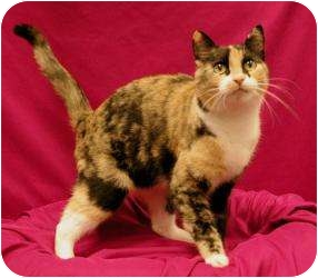 Domestic Shorthair Cat for Sale in Sacramento, California - Jessica