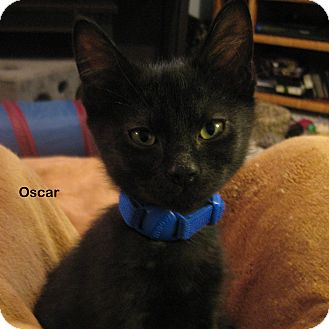 Domestic Shorthair Kitten for Sale in Portland, Oregon - Oscar