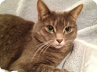 Domestic Shorthair Cat for adoption in Muskegon, Michigan - Tanya