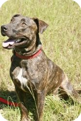 Plott Hound/American Pit Bull Terrier Mix Dog for adption in Conway, Arkansas - Tyson