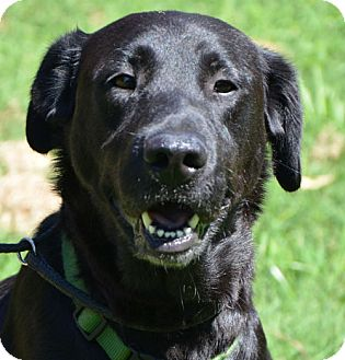 Labrador Retriever Mix Dog for Sale in Spring Valley, New York - Ashley *look at her smile