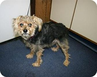 Yorkie, Yorkshire Terrier Mix Dog for Sale in Prole, Iowa - Leo