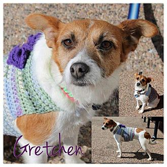 Jack Russell Terrier Mix Dog for Sale in Westland, Michigan - Gretchen