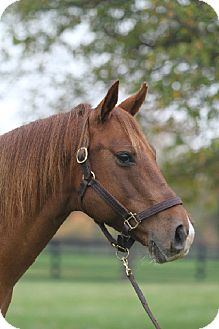 Quarterhorse Mix for Sale in Nicholasville, Kentucky - Gilbert