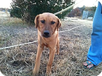 Shepherd (Unknown Type) Mix Puppy for Sale in Southern, Maine - Diesel-URGENT in MD(See Diego)