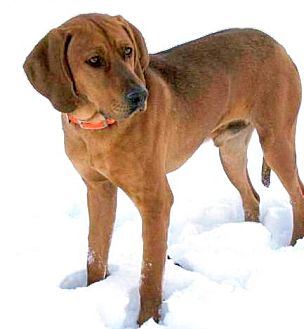 Redbone Coonhound Mix Dog for adption in Lisbon, Ohio - Abraham