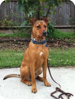 Shepherd (Unknown Type) Mix Dog for Sale in Houston, Texas - Sheffield
